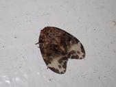 臺灣的蛾 moths of Taiwan:卵翅蛾科Neopseustis meyricki  臺灣卵翅蛾PB020001.JPG