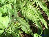 2018-2-16年初一尖石水田林道蕨類:光囊紫柄蕨(金星蕨科)P2160142.jpg