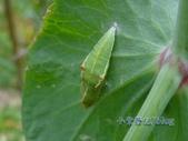 蝶蛹:紋白蝶綠色蛹
