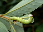 蛾幼蟲、繭、蛹:P1180541瑟舟蛾.JPG