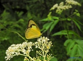 Pieridae粉蝶科:尖翅粉蝶(雌)X 270.jpg