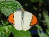 Pieridae粉蝶科:端紅蝶(雄)