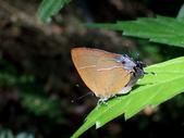 Lycaenidae灰蝶科:褐底青小灰蝶P7200232.JPG