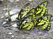 Pieridae粉蝶科:鋸粉蝶/斑粉蝶群聚吸水