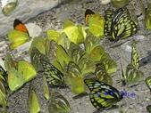 Pieridae粉蝶科:粉蝶群聚吸水