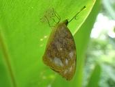 Pieridae粉蝶科:雲紋粉蝶羽化P4270013.jpg