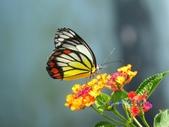 Pieridae粉蝶科:白豔粉蝶/紅紋粉蝶