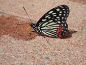 Nymphalidae蛺蝶科:PB090108紅星斑蛺蝶.JPG