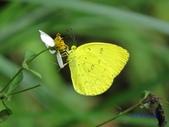 Pieridae粉蝶科:臺灣黃蝶z 010.jpg