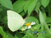 Pieridae粉蝶科:遷粉蝶/淡黃蝶(銀斑型)雄