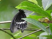 Papilionidae鳳蝶科:玉帶鳳蝶羽化DSCN6529.JPG