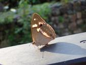 Nymphalidae蛺蝶科:PA260195臺灣小紫蛺蝶(雌).JPG