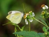 Pieridae粉蝶科:白粉蝶/紋白蝶x 041.jpg