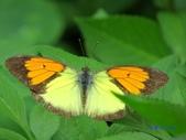 Pieridae粉蝶科:雌白黃蝶(雄)d 233.jpg