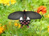 Papilionidae鳳蝶科:大紅紋鳳蝶DSCN5611.JPG