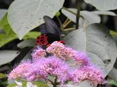 Papilionidae鳳蝶科:曙鳳蝶DSCN6229.JPG