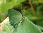 Lycaenidae灰蝶科:PA220522綠底小灰蝶.JPG