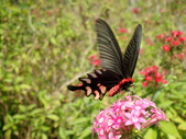 Papilionidae鳳蝶科:臺灣麝香鳳蝶P1240060.JPG