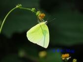 Pieridae粉蝶科:遷粉蝶/淡黃蝶(無紋型)