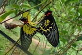 Papilionidae鳳蝶科:黃裳鳳蝶交尾P6040053.JPG