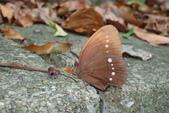 Nymphalidae蛺蝶科:串蛛環蝶P7060028.JPG