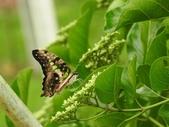 Papilionidae鳳蝶科:翠斑青鳳蝶/綠斑鳳蝶 Graphium agamemnon