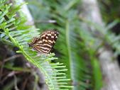 Lycaenidae灰蝶科:DSCN9895台灣小灰蛺蝶.JPG