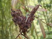 蛾幼蟲、繭、蛹:PA310117台灣茶蠶蛾.JPG