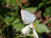 Lycaenidae灰蝶科:嘉義小灰蝶P3260115.JPG