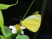 Pieridae粉蝶科:飛龍白粉蝶/輕海紋白蝶(雄)y 498.jpg