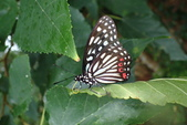 Nymphalidae蛺蝶科:紅星斑蛺蝶P6040076.JPG