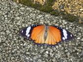 Nymphalidae蛺蝶科:雌紅紫蛺蝶(雌)P7060423.JPG