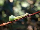 蛾幼蟲、繭、蛹:P1180350蓮霧赭瘤蛾.JPG