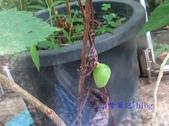 蝶蛹:黃領蛺蝶蛹