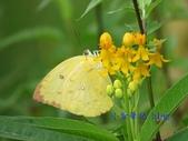 Pieridae粉蝶科:遷粉蝶/淡黃蝶(黃斑型)雌