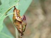 蝶蛹:單帶蛺蝶蛹P1030091.JPG