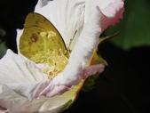 Pieridae粉蝶科:雌白黃蝶(雄)DSCN6097.JPG