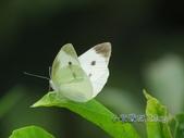 Pieridae粉蝶科:白粉蝶/紋白蝶(雄)