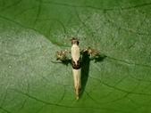 多翼蛾科、鳥羽蛾、奇蛾科、旋蛾科、木蛾科、捲蛾科、捲葉蛾科、折角蛾科、蕈蛾科、細蛾科:細蛾科Caloptilia sp.P3240188.JPG