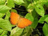 Nymphalidae蛺蝶科:樺蛺蝶DSCN4149.JPG