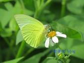 Pieridae粉蝶科:遷粉蝶/淡黃蝶(無斑型)雄