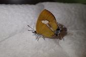Lycaenidae灰蝶科:姬三尾小灰蝶P5030246.JPG