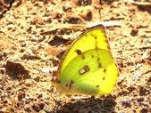 Pieridae粉蝶科:水青粉蝶(雌)A 147.jpg