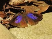 Lycaenidae灰蝶科:DSCN2453紫燕蝶(雌).JPG