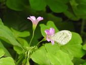 Pieridae粉蝶科:DSCN5694黑點粉蝶.JPG