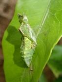 蝶蛹:玉帶鳳蝶