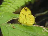 Pieridae粉蝶科:淡色黃蝶DSCN1074.JPG