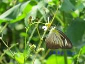 Pieridae粉蝶科:異色尖粉蝶/臺灣粉蝶(雌)訪花