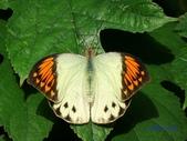 Pieridae粉蝶科:端紅蝶(雌)I 106.jpg