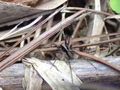 2018-2-17關西四寮溪、橫山三叉陴:豹蛛屬 Pardosa sp.P2170282.jpg